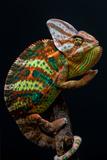 Yemen Chameleon Photographic Print by  arturasker
