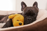 French Bulldog Dog Having a Sleeping and Relaxing a Siesta in Living Room, with Doggy Teddy Bear Photographic Print by Javier Brosch