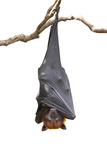 Bat,Lyle's Flying Fox (Pteropus Lylei),Isolated on White Background, with Clipping Path Photographic Print by  Worraket
