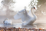 Mute Swan (Cygnus Olor) Stretching on a Mist Covered Lake at Dawn Photographic Print by Kevin Day