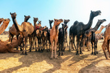 Camels Photographic Print by Banana Republic images