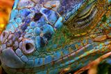 Amazing Iguana Specimen Displaying a Beautiful Blue Colorization of the Scales - 2 Photographic Print by  TessarTheTegu