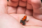Red-Backed Poison Frog, (Ranitomeya Reticulata) a Colorful and Poison Frog of the Amazon Jungle. Photographic Print by Christian Vinces
