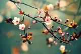 Beautiful Flowering Japanese Cherry - Sakura. Background with Flowers on a Spring Day. Photographic Print by  Montypeter