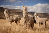 Llamas (Alpaca) in Andes Mountains, Peru, South America Photographic Print by Pavel Svoboda Photography