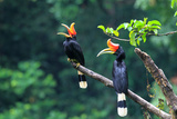 Rhinoceros Hornbill (Buceros Rhinoceros) in Sumatra, Indonesia Photographic Print by  feathercollector