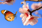 Butterfly and Pink Almond Tree Blossom Photographic Print by Protasov AN
