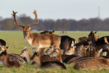 A Herd of Deer in the Phoenix Park in Dublin, Ireland, One of the Largest Walled City Parks in Euro Photographic Print by  Bartkowski