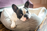 Adorable French Bulldog on the Lair Photographic Print by Patryk Kosmider
