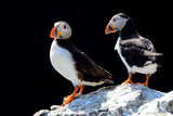 Atlantic Puffins, Farne Islands Nature Reserve, England Photographic Print by Attila JANDI