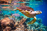 Hawksbill Turtle - Eretmochelys Imbricata Floats under Water. Maldives Indian Ocean Coral Reef. Photographic Print by Andrey Armyagov