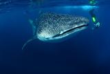 Whale Shark & Snorkeller Rhincodon Typus Seychelles Photographic Print by  davidpstephens
