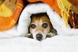 Cute Dog Peeking out from under the Soft Warm Blanket. Luxuriate in Bed. Hiding from the Cold Photographic Print by  Kalamurzing