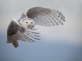 Snowy Owl in Flight Photographic Print by Tom Middleton