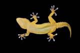 Gecko Lizard on Clear Glass Photographic Print by  nico99