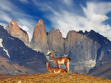Guanaco in Torres Del Paine National Park, Patagonia, Chile Photographic Print by Dmitry Pichugin