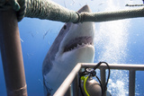 Great White Shark Showing its Teeth in Front of Divers in a Diving Cage. Photographic Print by  VisionDive