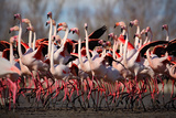 Flock of Greater Flamingo, Phoenicopterus Ruber, Nice Pink Big Bird, Dancing in the Water, Animal I Photographic Print by Ondrej Prosicky