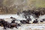 Wildebeests are Crossing Mara River. Great Migration. Kenya. Tanzania. Masai Mara National Park. An Photographic Print by GUDKOV ANDREY