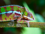 Green Chameleon on the Green Grass Photographic Print by Fedor Selivanov
