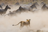 Lioness Attack on a Zebra. National Park. Kenya. Tanzania. Masai Mara. Serengeti. an Excellent Illu Photographic Print by GUDKOV ANDREY