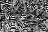 Zebras in the Big Herd during the Great Migration in Masai Mara, Wild Africa, African Wildlife, Ani Photographic Print by  PhotocechCZ