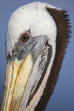 Portrait of Brown Pelican (Pelecanus Occidentalis) in Paracas Bay, Peru. Paracas Bay is Well known Photographic Print by Don Mammoser