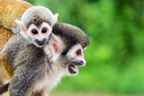 Two Squirrel Monkeys, a Mother and Her Child in the Amazon Rainforest near Leticia, Colombia Photographic Print by Jess Kraft