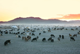 Herd of Goats in the Sunset at Mongolian Village Photographic Print by  joyfull