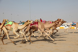 Racing Camels with a Robot Jockeys, Dubai, United Arab Emirates Photographic Print by Philip Lange