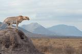 Wild African Cheetah, Beautiful Mammal Animal. Africa, Kenya Photographic Print by Volodymyr Burdiak
