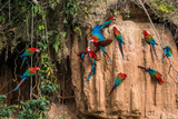 Macaws in Clay Lick in the Peruvian Amazon Jungle at Madre De Dios Peru Photographic Print by  OSTILL