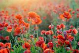Field of Bright Red Corn Poppy Flowers in Summer Photographic Print by Volodymyr Burdiak