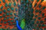 Peacock Showing Feathers on the Bright Red Background Photographic Print by Dudarev Mikhail