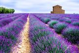 Lavender Field Photographic Print by Edler von Rabenstein