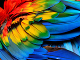 Colorful of Scarlet Macaw Bird's Feathers with Red Yellow Orange and Blue Shades, Exotic Nature Bac Photographic Print by Super Prin