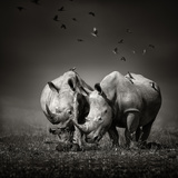Two White Rhinoceros in the Field with Birds Flying Photographic Print by Johan Swanepoel