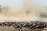 Big Herd of Wildebeest is about Mara River. Great Migration. Kenya. Tanzania. Masai Mara National P Photographic Print by GUDKOV ANDREY