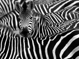 Close up from a Zebra Surrounded with Black and White Stripes in His Herd Fotografisk tryk af Chantal de Bruijne