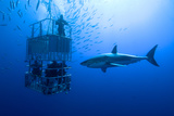 White Shark, Cage / Great White Shark Swims around the Cage Photographic Print by Stefan Pircher