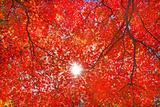 Sun Light through the Red Fall Maple Foliage Photographic Print by Maxim Tupikov