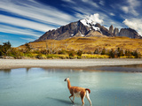 Guanaco Crossing the River in Torres Del Paine National Park, Patagonia, Chile Photographic Print by Dmitry Pichugin