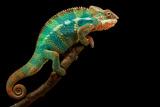 Chameleon Photographic Print by Mark Bridger