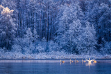 Swans at Sunrise on Winter Lake Photographic Print by  Shaiith