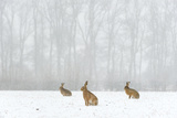 Brown Hare (Lepus Europaeus) Three Adults In Snow Covered Field During A Snow Fall, Derbyshire, UK Photographic Print by Andrew Parkinson