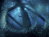 A cormorant swims through baitfish under the oil rigs in Southern California Photographic Print by  Stocktrek Images