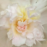 Paeonia Photographic Print by Rebecca Swanson