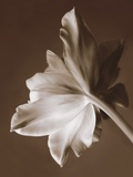 Moonglow Tulip Photographic Print by Rebecca Swanson