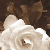 Gardenia Garden Photographic Print by Rebecca Swanson
