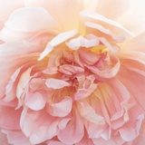 Heavenly Rose Photographic Print by Rebecca Swanson